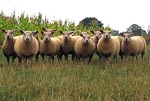 Charollais Sheep - Ewe Lambs